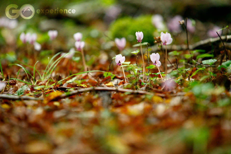 Cyclamens, Rodopi Mountains National Park, Greece