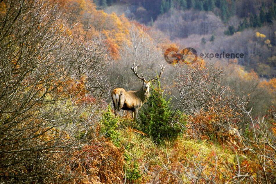 Cervus elaphus (Red Deer) Rodopi Mountains National Park, Greece